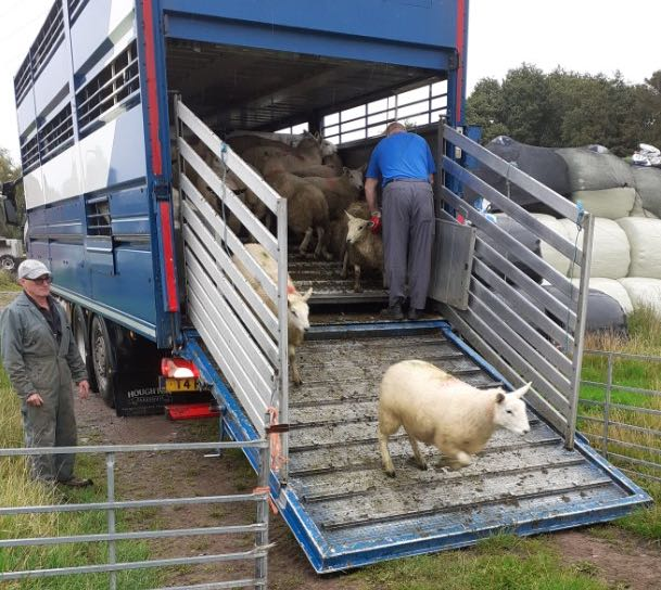 Sheep arriving at Churncote